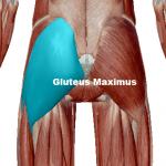 Glutes maximus